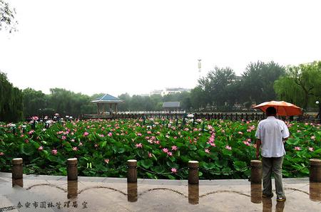 东湖雨荷1